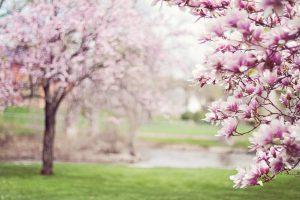 drzewo-magnolia