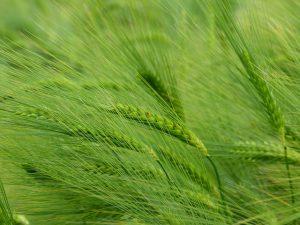 zielony-jeczmien