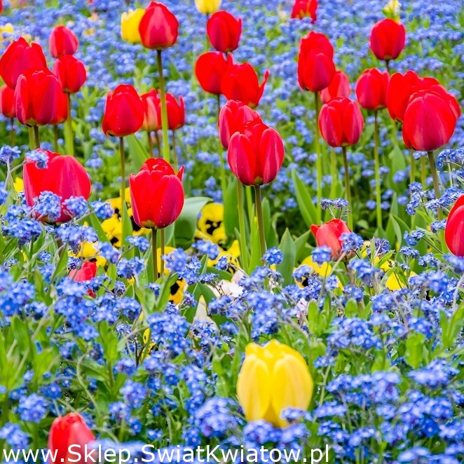 Odmiany kwiatów cebulowych